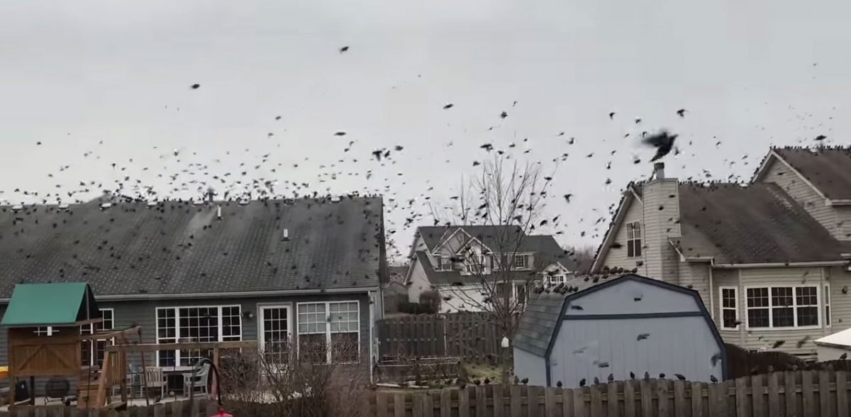 Bird Invasion in Oswego, IL